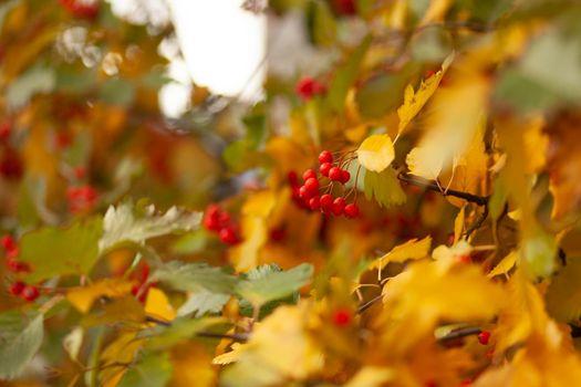 Hawthorn tree in autumn