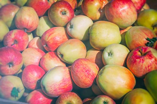 Beautiful and delicious large apples. Presents closeup.
