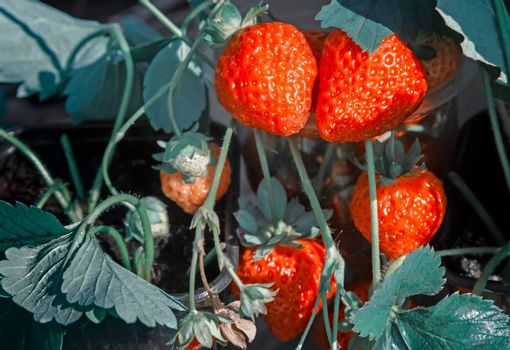 Closeup presents ripe red strawberries growing in the garden