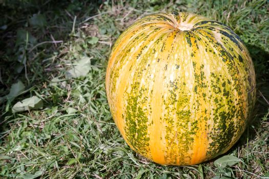 A large yellow ripe pumpkin lies on the ground on the grass.