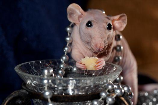 Hairless rat jewelry and cheese