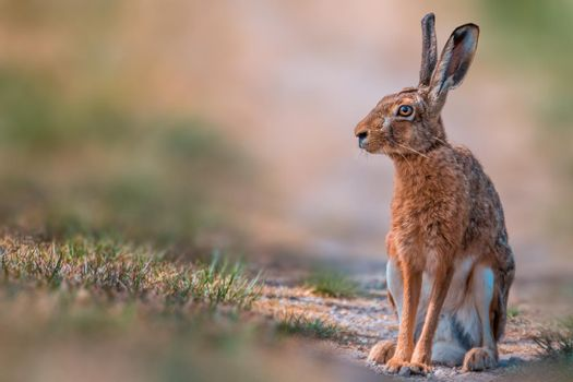 brown field hare in nature