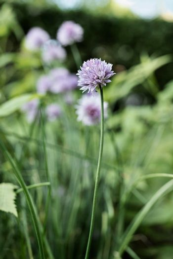 Pink chive flowers