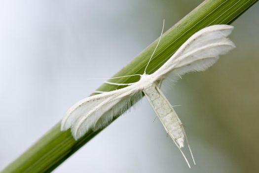 White plume moths