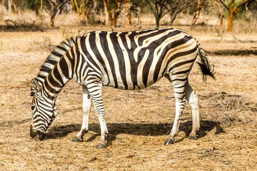 Bandia, Senegal, July 16, 2014, Zebra in the Bandia reserve