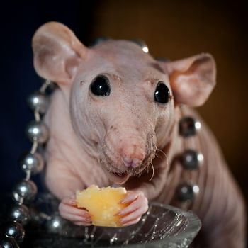 Hairless rat with beads and cheese