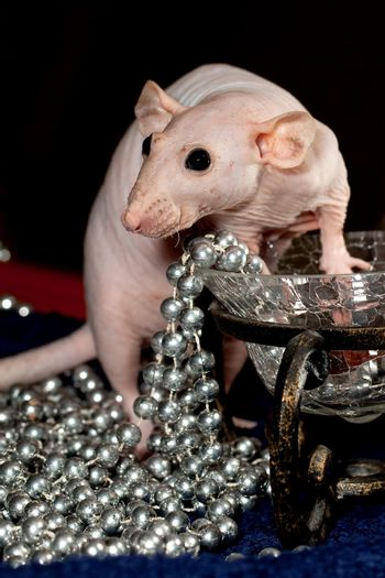 Hairless rat and necklace