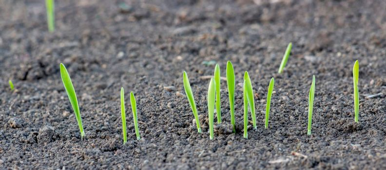 Germination of wheat from the soil. Young sprouts of barley on the field. Panorama of a germinating grain row.