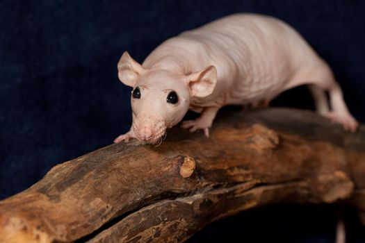 Hairless rat on a branch