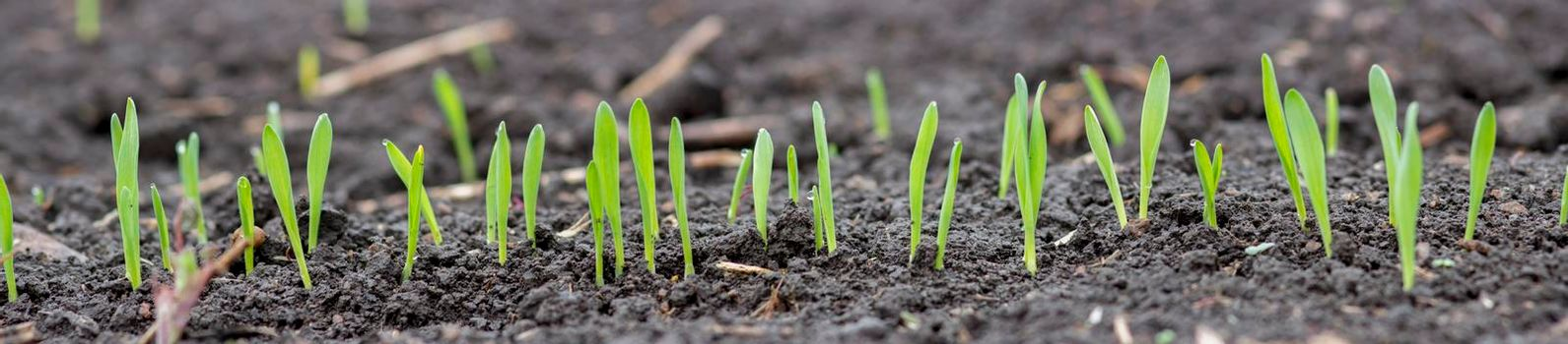 Panorama of young sprouts of barley or wheat. Green leaves of germinating grain from the soil in agriculture.