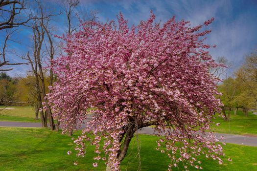 Japanese flowering cherry Sakura with flowers on beautiful a spring day