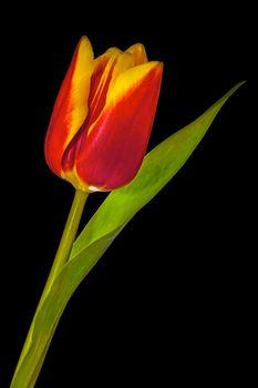 A reddish yellow tulip