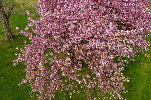 Spring Japan sakura cherry blossom in bloom sways the wind