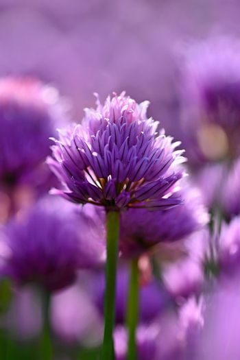 Beautiful flowering purple plant - chives. Natural colorful background in sunny and summer day.(Allium schoenoprasum)