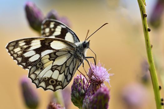 Beautiful colorful butterfly sitting on flower in nature. Summer day with sun outside on meadow. Colorful natural background. Insects (Melanargia galathea)