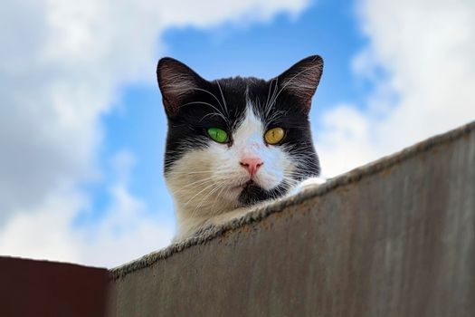 A black cat with a white snout against the cloud sky. With eyes of different colors. Sunny autumn day. Front view.