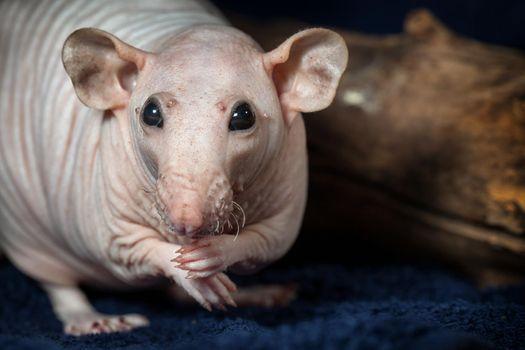 Beautiful hairless rat portrait