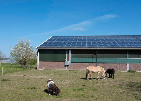 horse and ponies near barn with solar panels in the netherlands on sunny spring day