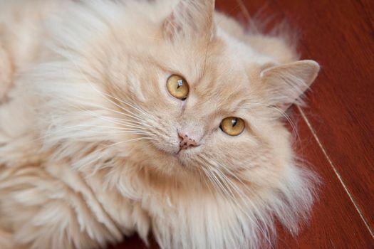 Beautiful amber eyed orange fluffy cat