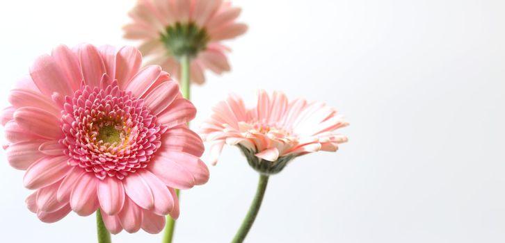 Beautiful pink gerbera flowers on white background. Bunch of spring summer