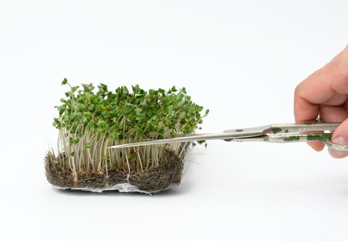 green sprouts of broccoli on a white background, hand cuts the leaves with scissors, useful microgreen
