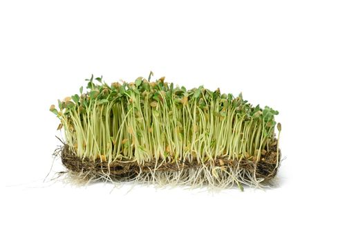 green flax sprouts on a white background, useful microgreen on a white background