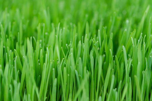 Wheatgrass in nursery