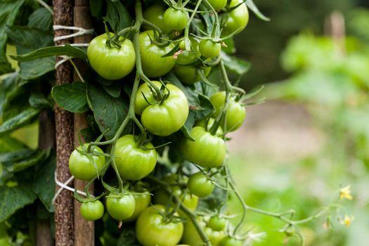 Tomatoes - bush