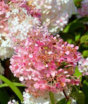 Hydrangea (common names hydrangea or hortensia