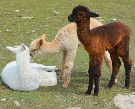 Alpaca is a domesticated species of South American camelid.