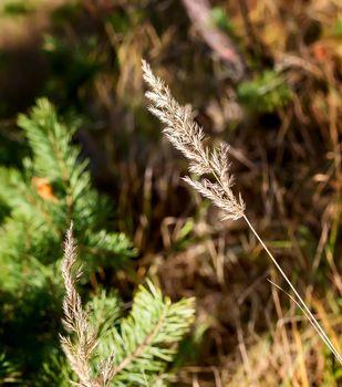 Autumn landscape: a stalk of dried grass close-up