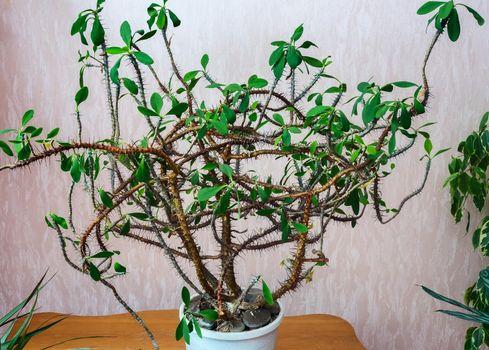 Perennial ornamental houseplant Euphorbia, native to the subtropics.
