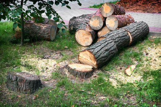The Park sawn pine, damaged by bark beetles.