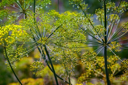 Inflorescence of dill seeds in dew drops close-up