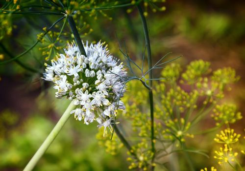 Inflorescence of flowering onions in the garden.