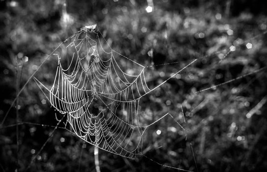 Cobweb with dew drops on the blades of grass.