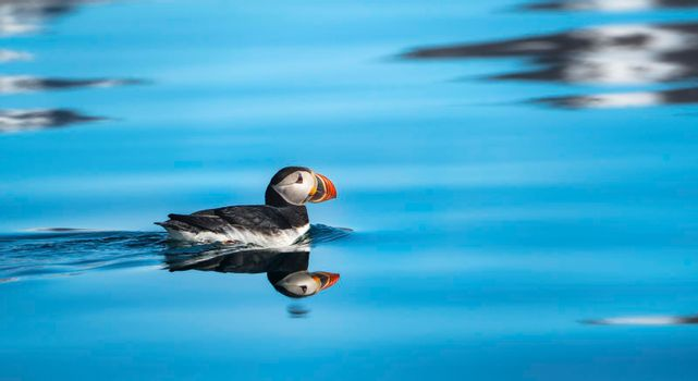 Atlantic puffin in the water
