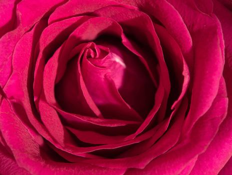 Close up beautiful pink rose , Sweet color natural floral background