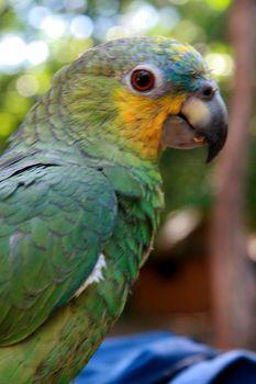 wild parrot raised in residence