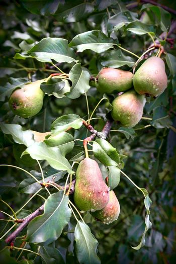 Ripening pears on the branches of a tree.