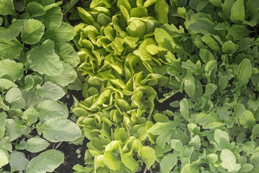 Green young lettuce, radish and arugula leaves