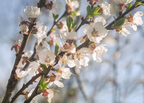 A branch of a blooming apricot against the blue sky.