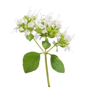 Oregano branch with flower