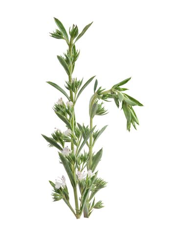 Blossoming branch of thyme