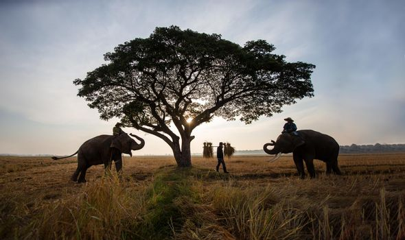 Thailand Countryside; Silhouette elephant on the background of sunset, elephant Thai in Surin Thailand.