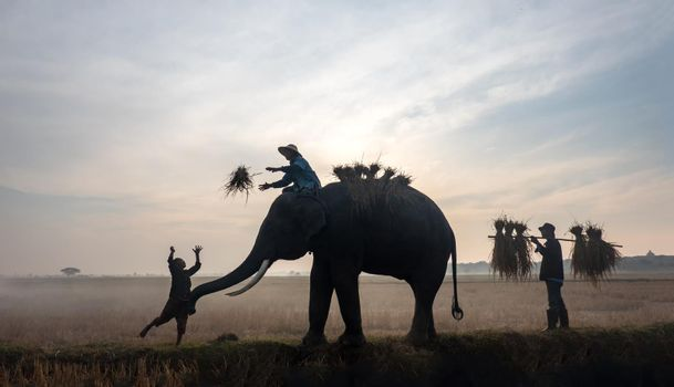 Farmers in Thailand. Thailand Countryside; Silhouette elephant on the background of sunset, elephant Thai in Surin Thailand.
