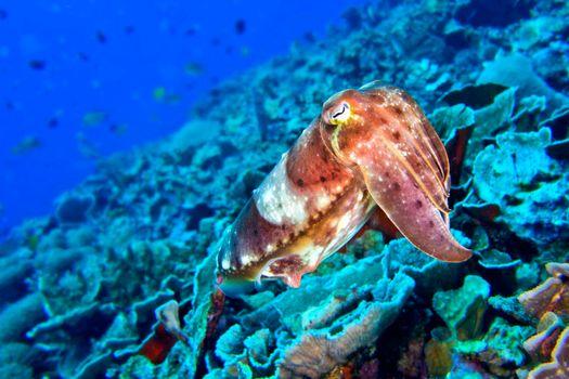 Cuttlefish, Lembeh, North Sulawesi, Indonesia