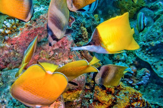 Butterflyfishs, Lembeh, North Sulawesi, Indonesia