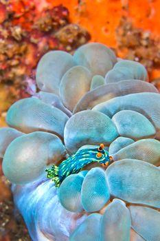 Sea Slug, Lembeh, North Sulawesi, Indonesia