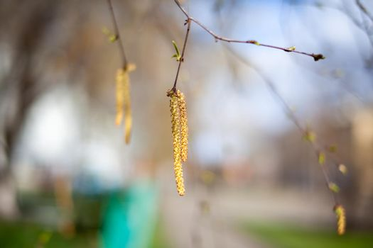 Beautiful sunny view of the birch branches and catkins on the branches